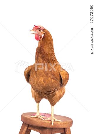 brown chicken standing on wood desk isolat 27672660