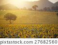 Sunflower field 27682560