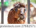 Alpaca 27682571