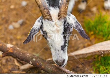 goat 27684033