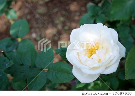 Rose 27697910