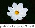 Close up beautiful white flower bloom, Yellow stamens. 27705536