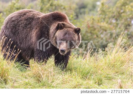 Brown Bear 27715704