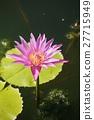 ดอกไม้ของลิลลี่น้ำ 27715949