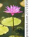 ดอกไม้ของลิลลี่น้ำ 27715950