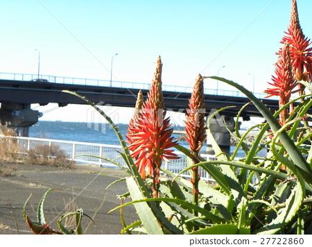 芦荟 花朵 花卉 27722860