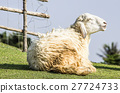 Smiley sheep in a Green Field, Thailand 27724733