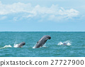 Rare thai finless whale jumping off of water 27727900