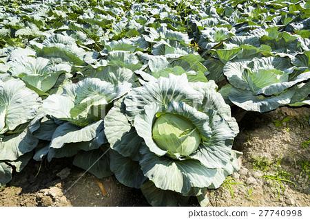 成熟的高麗菜菜園 27740998