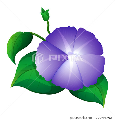 Morning glory in purple color 27744798