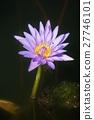 ดอกไม้ของลิลลี่น้ำ 27746101