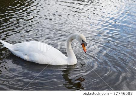 Cobb swans of Matsumoto castle 27746685