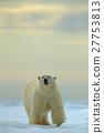 Big polar bear on drift ice with snow in Arctic 27753813