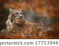 Eurasian Lynx hidden in orange oak branch autumn 27753946