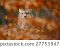 Eurasian Lynx, portrait of wild cat hidden orange 27753947