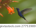 Big blue hummingbird Violet Sabrewing flying 27753989