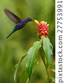 Dark blue hummingbird Violet Sabrewing Costa Rica 27753991