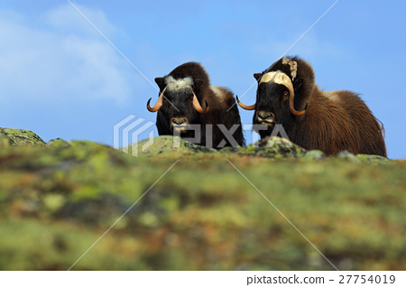Musk Ox, Ovibos moschatus, Two brown animals 27754019