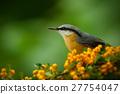 Eurasian Nuthatch, Sitta europaea, yellow 27754047