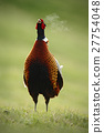 Common Pheasant on the meadow with open beak 27754048