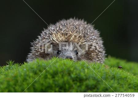 West European Hedgehog in green moss 27754059