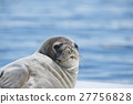 Weddell Seal laying on the ice 27756828