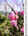 樱桃树 花 花卉 27757281
