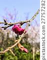 樱桃树 花 花卉 27757282