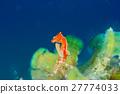 세계에서 가장 작은 해마 일본 피그미 해마 27774033