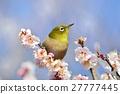 繡眼鳥 梅花 梅 27777445
