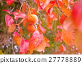 japanese, persimmon, fruit 27778889