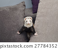 Funny ferret 27784352
