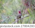 Anna's Hummingbird (Calypte anna), Adult, Male 27804283