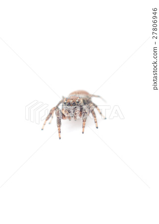 jumping spider on a white background 27806946