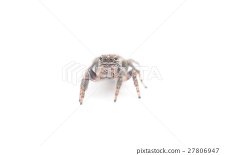 jumping spider on a white background 27806947