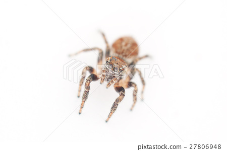 jumping spider on a white background 27806948