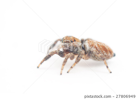 jumping spider on a white background 27806949