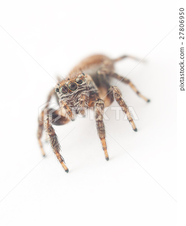 jumping spider on a white background 27806950