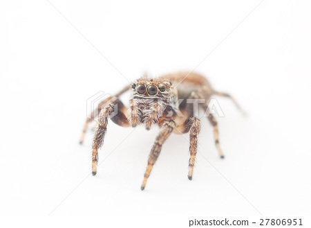 jumping spider on a white background 27806951