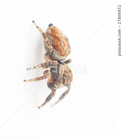 jumping spider on a white background 27806952