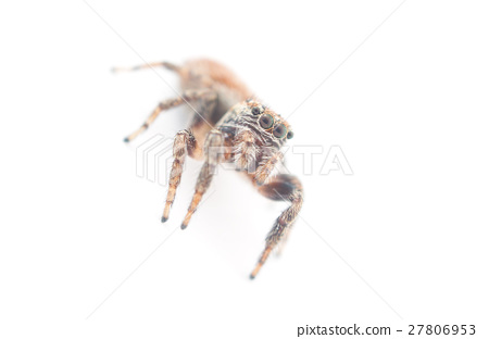 jumping spider on a white background 27806953