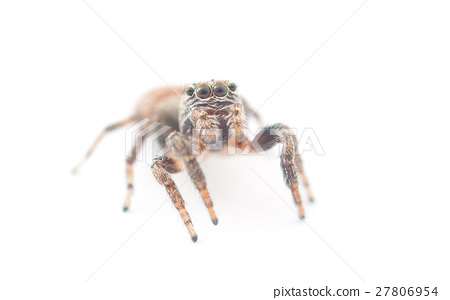 jumping spider on a white background 27806954