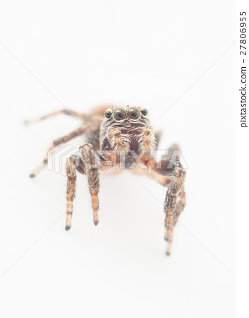 jumping spider on a white background 27806955