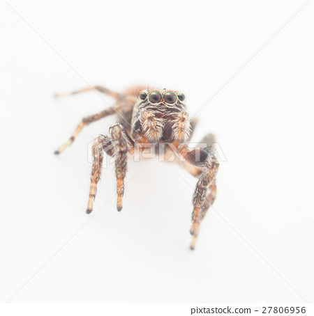 jumping spider on a white background 27806956