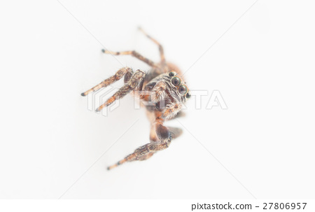 jumping spider on a white background 27806957
