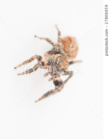 jumping spider on a white background 27806959
