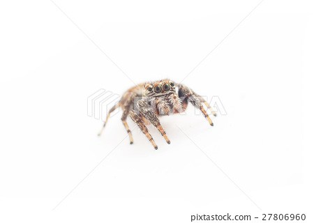 jumping spider on a white background 27806960
