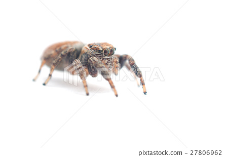jumping spider on a white background 27806962