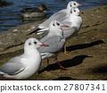 紅嘴鷗 白色 野生鳥類 27807341