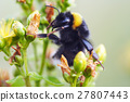 Bumble bee on flower 27807443